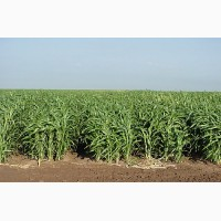 Продам суданскую траву!ОПТ
