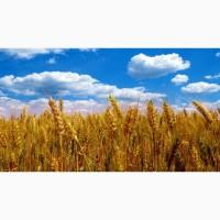 Продам пшеницу Фураж. Весовая