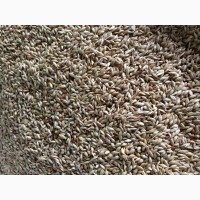 Куплю семена суданки