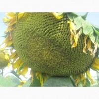 Семена подсолнечника Ясон - проверенный годами гибрид