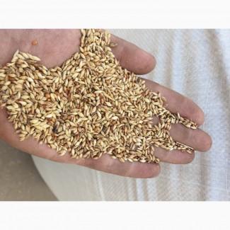 Продам семена суданки