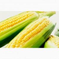 Семена кукурузы Солонянский 298 СВ- ФАО 290-высокая устойчивость к засухе