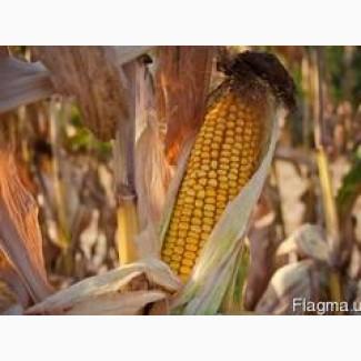 Кукуруза Тессалі