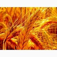 Продам насіння озимого жита - Стоір