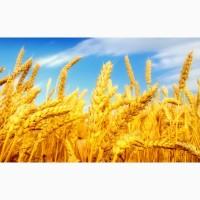 Закупаем пшеницу любого класса, по всей Украине