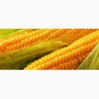 Закупка кукурудзи фуражної