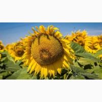 Насіння соняшнику гібрид Нео /під гранстар