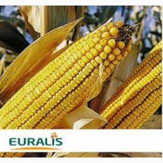 Кукуруза ЕС КУБУС ФАО 310