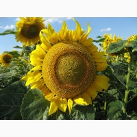 Семена подсолнечника Златсон - стабильно высокая урожайность