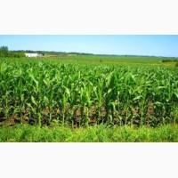 NEW насіння кукурудзи: Вакула, Онікс, Яніс