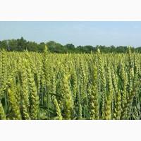 Посівний матеріал озимої пшениці КУБУС (1репродукція)