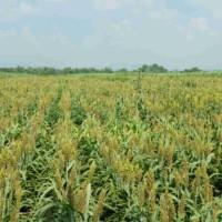 Семена сахарного сорго Мохавк, 125-130 дней
