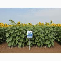 НС Таурус гибрид подсолнечника под евролайтнинг (урожай 2018)
