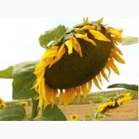 Українське сонечко (90–95 дн) Гібрид Ультраскоростиглий гібрид