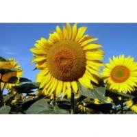 Семена подсолнечника Базальт - высочайший потенциал продуктивности