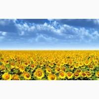 Продам посівний матеріал соняшнику під євро-лайтнінг