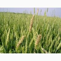 Посівний матеріал озимої пшениці КОЛОНІА (1репродукція)