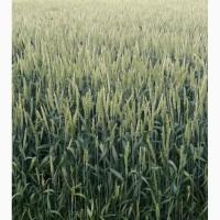 Канадская пшеница 1 класа сорт Toleda