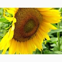 Семена подсолнечника Лимит (под Евро-Лайтнинг) - высокая стойкость к засухам