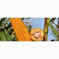 Кукуруза ЕС БРІЛЛІАНТ ФАО 350