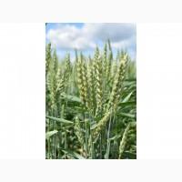 Продам семена пшеницы Тризо 1я репр-ция!!!Харьковская обл.!ОПТ