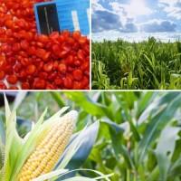 Яніс насіння кукурудзи