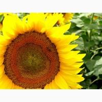 Семена подсолнечника Аракар (под Евро-Лайтнинг) - сверхзасухоустойчивый