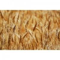 Посівний матеріал озимої пшениці ФЕЛІКС (1репродукція)