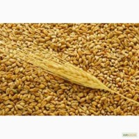 Закупаем пшеницу дорого