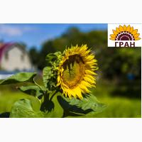Виробник пропонує насіння соняшнику гібридів стійких до гранстару