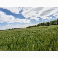 Продам насіння озимого ячменю КАЛГАРІ