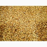 Пшениця 2кл