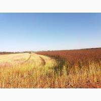 Продам насіння гречихи Флорида та Гренбі (Канада)