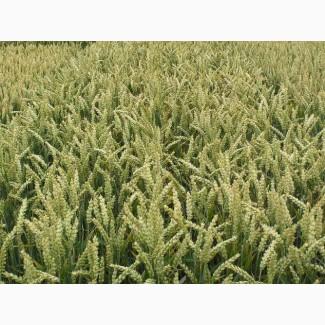 Пшеница Тесла