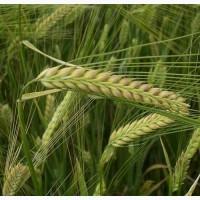 Семена озимого ячменя Девятый вал, 90-105 ц/га