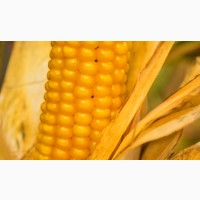 Насіння гібридів кукурудзи ВНІС ВН 63 (фао 280) 2020 року урожаю