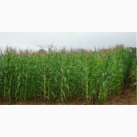 Купимо фуражну кукурудзу. ОПТ
