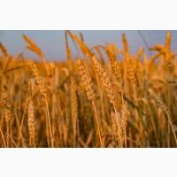 Закуповуємо ячмінь, пшеницю, горох, рапс