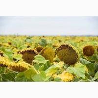 Дозор - Насіння соняшника під класичну технологію вирощування