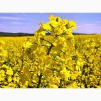 Продам насіння озимого ріпаку сорту Чорний Велетень 1-Р