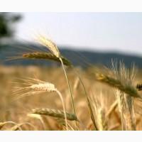 Пкупаем пшеницу продовольственную