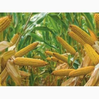 Кукуруза П8025/Р8025 ФАО 230