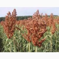 Гибрид зернового сорго Кейто, Kato