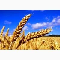 На постоянной основе закупаем пшеницу, дорого