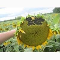 Насіння соняшнику - Солтан