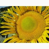 Продам гібрид соняшника СОНЯЧНИЙ НАСТРІЙ, Стійкий до гербіцидів трибенурон-метил