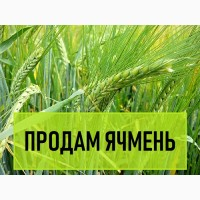 Продам Сорт ярового ячменя SEATTLE. ЯЧМЕНЬ Посевной Украина 2018, Яровой ячмень в Украине