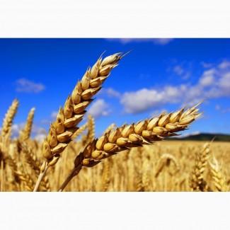 Купимо пшеницю, кукурудзу (товарну та фуражну)