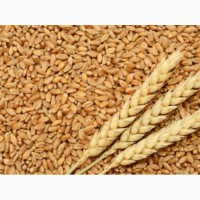 Куплю пшеницю 2-4 клас