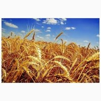Продаем пшеницу 3, 6 класс с элеватора
